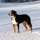 The noble mountain dog frolicking in the snow